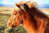 Friendly brown Icelandic horse