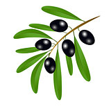 Branch with black olives and leaves to decorate the labels of ol