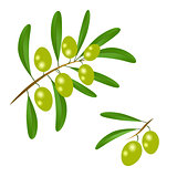 Branch with green olives and leaves to decorate the labels of ol