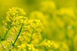 Yellow coleseed flowers grow in fresh
