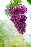 Beautiful branch of lilac bushes growing in the spring