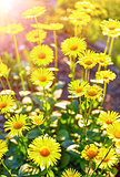 Yellow camomiles in garden with sunshine gardening