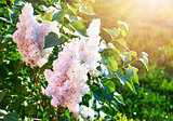 Blooming white lilac on background green lawn