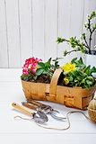 Spring flower primula in wicker basket top