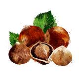 Hazelnut on white background. Watercolor illustration