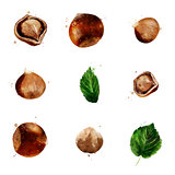 Hazelnut on white background. Watercolor illustration