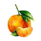 Mandarin on white background. Watercolor illustration
