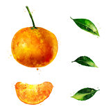 Mandarin on white background. Watercolor illustration