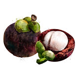 Mangosteen on white background. Watercolor illustration