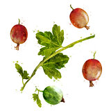 Gooseberry on white background. Watercolor illustration