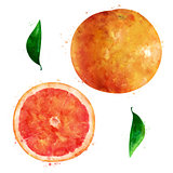 Grapefruit on white background. Watercolor illustration
