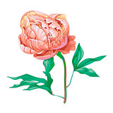 Beautiful pink peony flower isolated on white background. A large bud on a stem with green leaves. Botanical vector Illustration.