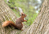 Red Squirrel in Fork of Tree