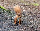 Red Squirrel on Ground