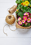Spring flower primula in wicker basket