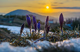 Crocuses with water drops against sunrise scene