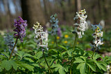 Multicolored Birthwort flowers in forest _