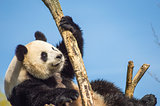 Giant panda sitting on a wooden platform in a wildlife park