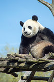Giant panda sitting on a wooden platform in a wildlife