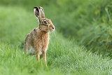 Beautiful Norfolk wild hare sat on grass