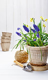 Spring flower muscari and narcissus in pot