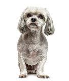 Mixed-breed dog sitting, isolated on white