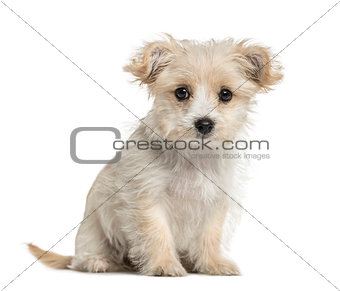 crossbreed dog puppy sitting, isolated on white