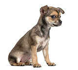 Chihuahua puppy sitting, isolated on white
