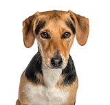 close-up of a crossbreed dog, isolated on white