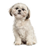 Shih tzu sitting, isolated on white