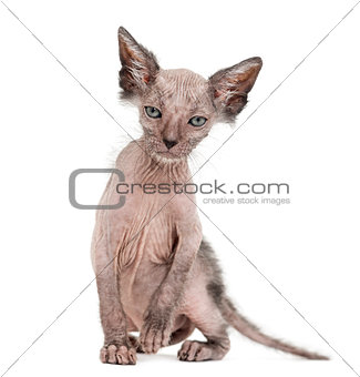 Kitten Lykoi cat, 7 weeks old, also called the Werewolf cat sitt