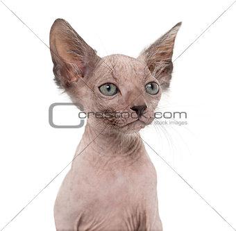 Kitten Lykoi cat, 7 weeks old, also called the Werewolf cat agai