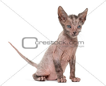 Kitten Lykoi cat, 7 weeks old, also called the Werewolf cat agai