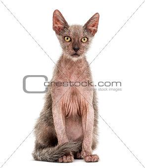 Kitten Lykoi cat, 3 months old, also called the Werewolf cat sit
