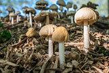 Three beige toadstools macro image