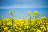 Canola flower field closeup. Beautiful growing yellow plant