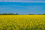 field of yellow rapeseed against the blue sky