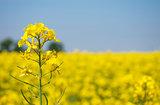Canola flower field closeup. Beautiful growing yellow plant