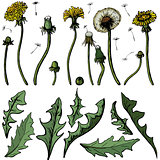 Vector illustration dandelions with leaves flower meadow. Summer flower natural season beautiful yellow dandelion.