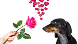 dog valentines rose