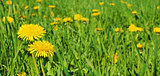 Yellow Flowers Dandelions And Grass Background