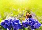 Orange butterfly on purple hydrangea.