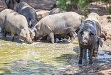 Black iberian pigs enjoying the pond, Extremadura, Spain