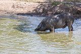 Black iberian pig enjoying the pond, Extremadura, Spain