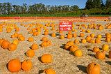 Field pumpkins for sale at farm harvest festival