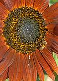 Western honey bee or European honey bee (Apis mellifera)
