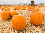 Closeup of pumpkins in patch