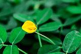 Yellow Flower Bean