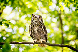 Owl Sitting in Forest