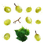 Green grapes on white background. Watercolor illustration